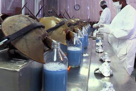 La sangre azul del cangrejo herradura nos ha dado la vacuna del Covid. El precio a pagar: su extinción