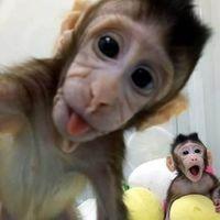 ¿Cómo lo ha hecho China para clonar monos de la misma forma que se creó la oveja Dolly?