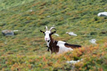 Portugal ha recuperado una vieja tecnología para prevenir mejor los incendios: las cabras