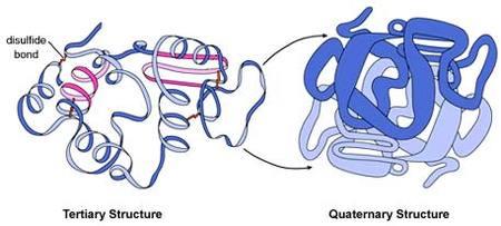 La complejísima y fundamental proteína que se dobla de mil formas