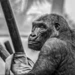 """La """"solución"""" de Google a su algoritmo racista es que Fotos pretenda que los gorilas no existen"""