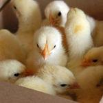La industria cárnica podrá dejar de matar a los pollitos macho. Bien por los pollitos