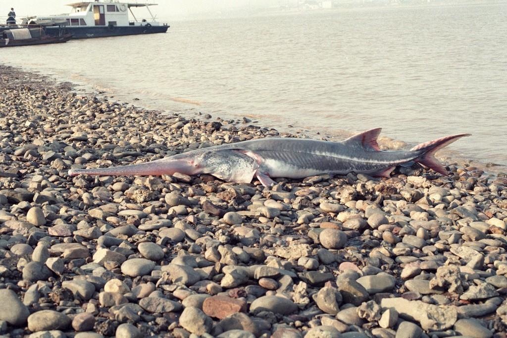 El pez remo chino es la primera especie extinta en 2020 y ya hay otra decena de candidatas a no llegar a las uvas