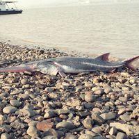 El pez remo chino es la primera especie extinta en 2020 y ya hay otra decena de candidatas a no llegar a fin de año