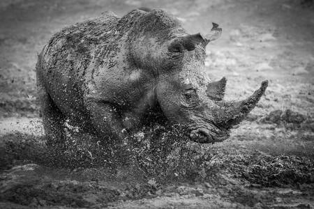 Silver C Darren Donovan Muddy Rhino