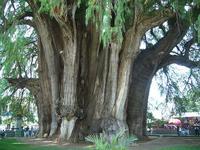 Oaxaca (México): el árbol más ancho del mundo