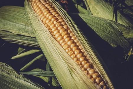 Dos universidades y una empresa estarían haciendo 'biopirateria' de maíz en México según Animal Político