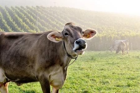 Cows 1693830 1920