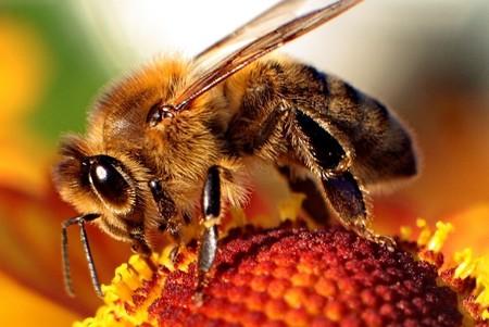 abeja-contaminar-miel