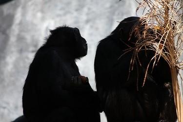 Hasta los chimpancés resuelven los conflictos sin violencia