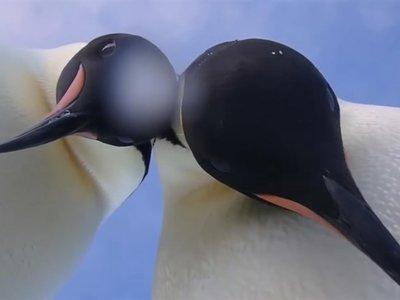 Contempla en este vídeo un pingüino Emperador desde muy cerca