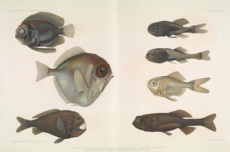 Ilustracion Peces Antigua Estilo Retro