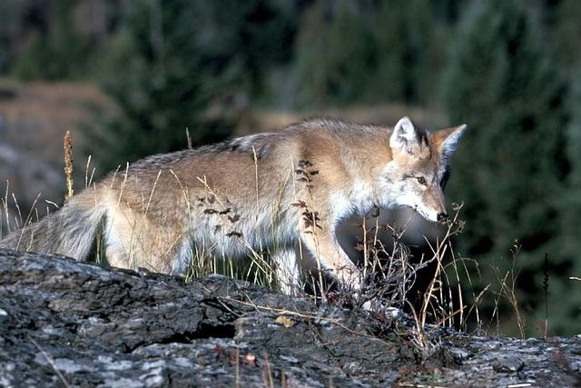 Coyote 718117 640
