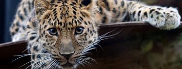 A favor del zoo: para muchas especies, la cautividad es la única forma de evitar la extinción