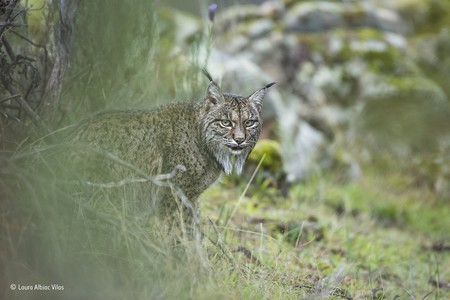 Glimpse Of A Lynx C Laura Albiac Vilas Wildlife Photographer Of The Year