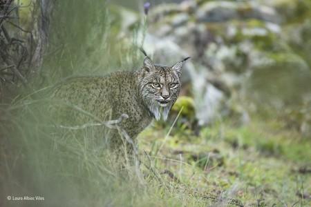 Glimpse Of A Lynx C Laura Albiac Vilas Wildlife Photographer Of The Year