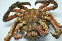 El CrustaStun, aturdidor de crustáceos