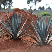 Científicos de la UNAM descubren en Oaxaca cuatro nuevas especies de agave, suman 159 en México