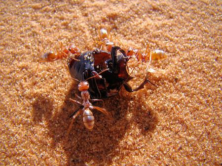 Se confirma que esta hormiga es la más rápida del mundo: avanza casi un metro por segundo