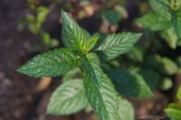 Toronjil silvestre, una planta que nos ayudará a tener un cuerpo más sano