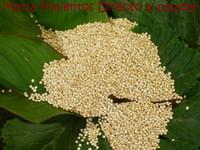 La quinoa, un falso cereal, apto para celíacos