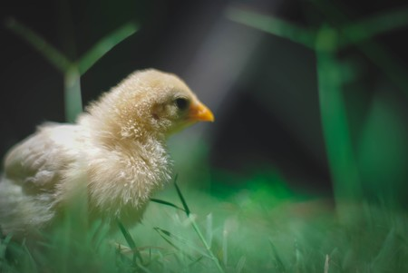 Esto no es una gallina, es una fábrica de medicamentos a razón de 300 huevos al año