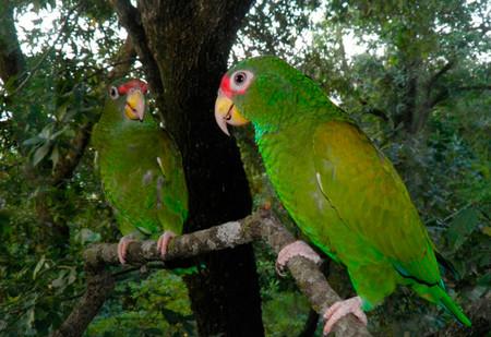Especialistas han descubierto en México una nueva, y bella, especie de loro, con cabeza roja y alas azules