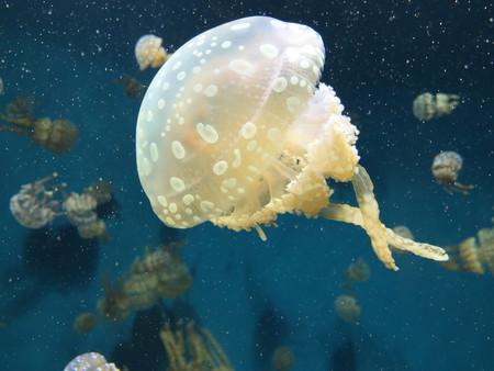 Si te pica una medusa ¿Deberías hacerte pipí sobre la picadura?