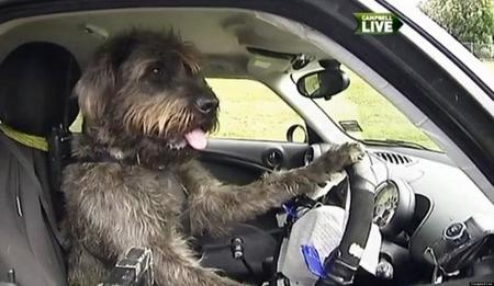 Perros conductores, lo que nos faltaba por ver