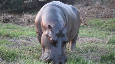 Ya capturaron al hipopótamo proveniente de África que paseaba libremente por Las Choapas, Veracruz