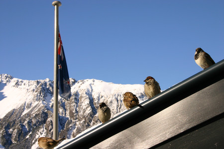 Passer Domesticus Mount Cook New Zealand