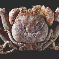El cangrejo que tiene la cara de un samurái dibujado en el dorso