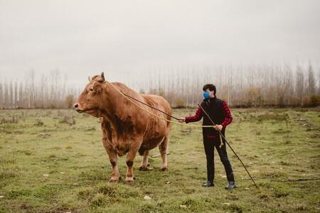 Goliat, el buey más grande de España, llega a restaurantes y carnicerías: chuletas de cinco kilos y solomillos a 288 euros