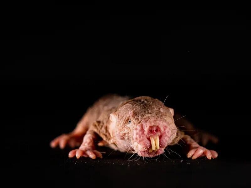 Brutas, ciegas y sordomudas; pero las ratas topo desnudas tienen dialectos propios que usan para identificar (y eliminar) a los intrusos