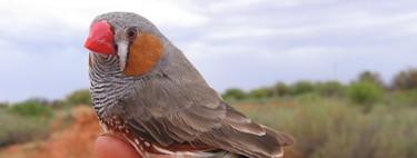 Este equipo ha conseguido implantar recuerdos falsos en un ave para enseñarle canciones nuevas