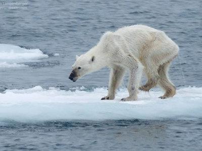 Los osos polares de Svalbard están desapareciendo, ¿el cambio climático o el hambre?