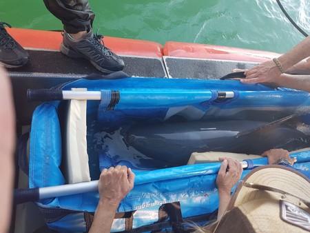 Rescate sin éxito: capturan a vaquita marina para su traslado, pero muere poco después