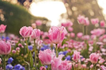 Tulipán (8972132314)