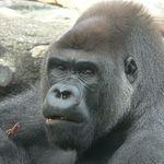 Los gorilas son más territoriales de lo que se creía y trenzan complejas estructuras sociales