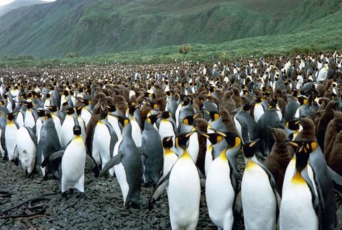 El islote australiano ocupado por dos millones de pingüinos