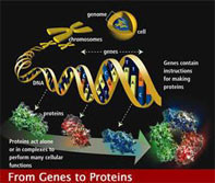 Identifican genes de la diabetes