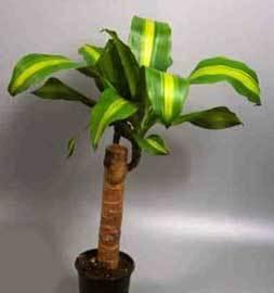 Plantas de interior: Tronco de Brasíl