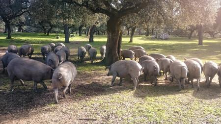 Menos Cerdo En El Campo