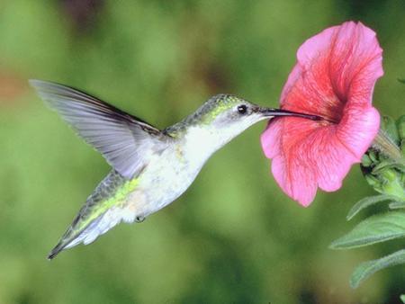 Singularidades extraordinarias de animales ordinarios (XIV): el colibrí