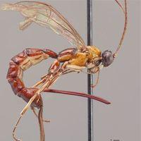 Así es el desproporcionado aguijón de la nueva especie de avispa descubierta en el Amazonas