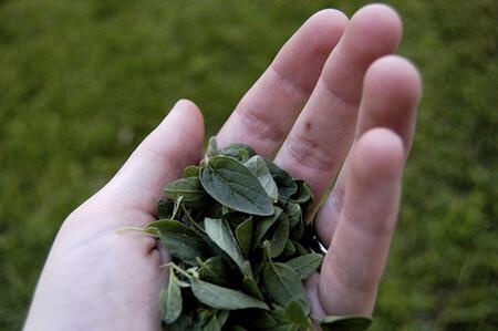 Orégano: una planta con grandes beneficios para la salud así como un gran potencial económico.