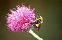 El misterioso caso de los abejorros que perdían el tiempo comiendo cosas que no les nutrían