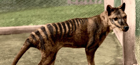 No te emociones demasiado ante la posible reaparición del mítico Tigre de Tasmania, el marsupial-lobo