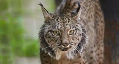 El Zoo de Jerez de la Frontera, un lugar para ver al lince ibérico
