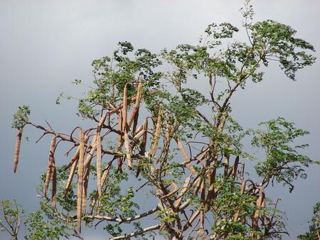 Moringa: una planta proveniente de la India que ha sido utilizada a lo largo de la historia por sus múltiple beneficios a la salud